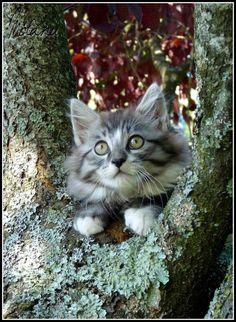 Cat - Norvegian - Mirãnu on www.yummypets.com