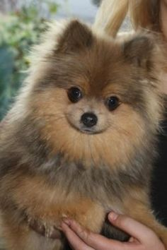 Bacon the Pomeranian (mybreeding)
