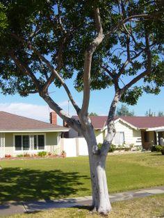 Carrotwood tree -- very clean, patio tree. Evergreen foliage.