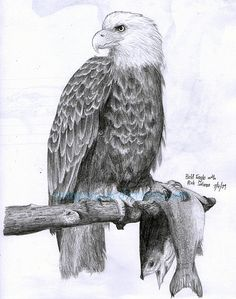 Bald Eagle Pencil Drawing (again!)
