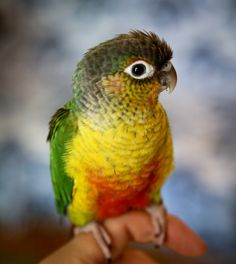 Green-Cheeked-Conure-Yellow-Sided