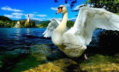 Swans at Lake Bled #LakeBled #Slovenia #Bled #travel #thingstodo #adventure #swans