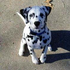 I have a picture almost identical to this of our Dal as a puppy! Such sweet babies they are.