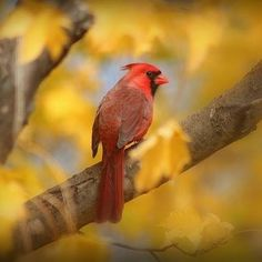 Cardinal- Birds and Blooms
