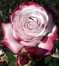 Paddy Stephens, rose breeder from Te Awamutu, NZ.  Paddy Stephens Rose Bush