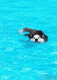 husky at the pool