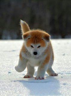Akita puppy♡
