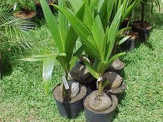 How to plant a coconut tree