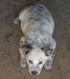 Texas Heeler Pup