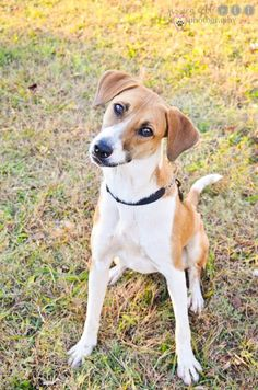 Available for Adoption from Dolly Goodpuppy Society in Barnesville, GA Maggie - Female/ young. Boxer mix. Perky and playful, Magpie, Maggie, is smart too. She learns quickly and loves treats, which makes her easy to motivate. This leggy lass enjoys both people and other dogs. She is all about play. Vaccinated, spayed, microchipped