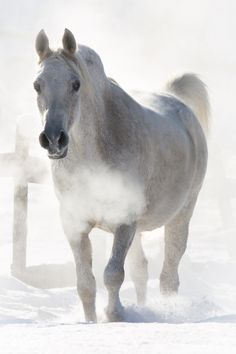 Dapple gray horse in the snow - Julia Moll » Arabisches Vollblut