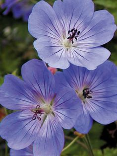 """GERO_0_Geranium_Rozanne.  """"Pelargoniums. True geraniums are a perennial that does well in partial shade, and blooms pink or blue all summer. In addition, many varieties' foliage turns bronze or red in the fall."""""""