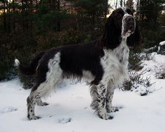 English Springer Spaniel Puppies, New Dog Funny Pet Pictures | Dogs ...