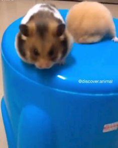 Cute Little Animals, Cute Funny Animals, Funny Cute, Cute Dogs, Funny Hamsters, Cute Guinea Pigs, Cute Animal Videos, Animal Memes, Animals Beautiful