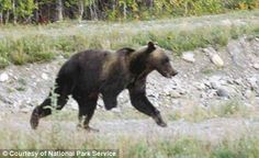 Tripawed: This three-legged grizzly bear has been spotted at an Alaskan national park. It is not known why Tripawed is missing his front right leg although locals believe that he may have lost it in a trap set for a wolf or a lynx.     BAN ALL TRAPS!