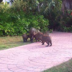 Carpinchos o capibara https://instagram.com/p/4Pg5qpJMAo/