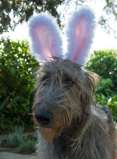 """All right, all right.......""""Here comes Peter Cotton Tail -- Hopping down the bunny trail.""""  Now can I take these dumb ears off? (Finn the Wolfhound)"""