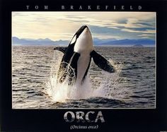 This lovely wall poster captures the image of Breaching Orca Whale in a Ocean which is sure to bring compliment just about any room in the house. You'll definitely enjoy viewing this as a part of your home. Discover the uniqueness of this poster and Order today for its durable quality and excellent color accuracy.