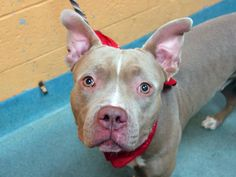 DESTROYED BY ACC - TO BE DESTROYED - 10/17/14 Brooklyn Center ****NEW PHOTO**** My name is PAL. My Animal ID # is A1017119. *I am a male tan and white pit bull mix. 1 YEAR owner surrender STRAY