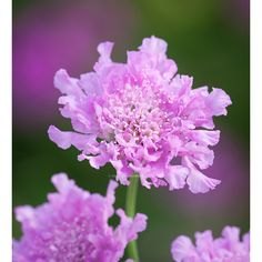 Buy Scabiosa columbaria 'Flutter Rose Pink' from Sarah Raven: This compact variety is perfect for pots. It is highly floriferous and produces bright pink pincushion flowers. Home Flowers, Cut Flowers, Scabiosa Columbaria, Biennial Plants, Plant Delivery, Pink Plant, Hardy Perennials, Outdoor Planters, Types Of Soil