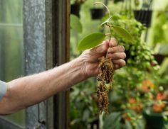 Alan with a cutting propagated in a pot.