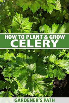 Want to fall in love with celery? Our guide shows you how to grow celery that's flavorful, smooth, and irresistibly crunchy. Read more on Gardener's Path. Growing Herbs, Growing Vegetables, Gardening For Beginners, Gardening Tips, Flower Gardening, Celery Plant, Chives Plant, Low Maintenance Garden Design, Winter Crops