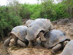 Tortugas terrestres de las islas Galápagos. Galapagos tortoises native of the Galapagos Islands, near Ecuador.