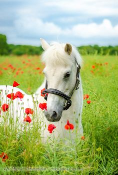 Grey horse with red poppies.  Un air de printemps by Elsa MEIER  on…