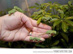 Newborn Baby Chameleons…