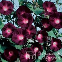 Morning Glory Seeds in bulk or by the packet at EdenBrothers. Heavenly Blue Morning Glory Seeds, Grandpa Ott Morning Glory Seeds, Moon flower Seeds and more. Largest selection of morning glory seeds in bulk or by the packet. Morning Glory Vine, Morning Glory Flowers, Morning Glories, Volubilis, Dark Purple Flowers, Beautiful Flowers, Deep Purple, Gothic Garden, Black Garden