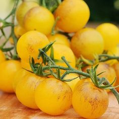#Gardening : Top New Tomato Plants - My Favorite Things