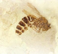 #FossilFriday: 34-million-year old wasp fossil