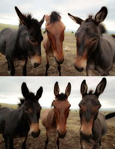 Photographer to mules: Ears up. Ears up. Come on guys. . . ears UP! Hmm, okay. Hey mules, here's some sweet feed! (Camera click) Perfect! Thanks long ears!