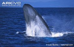 Blue whale photo - Balaenoptera musculus - G64995 | ARKive
