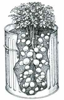 How to grow potatoes in a trash can - trash bin cross section, does this work for sweet potatoes too?