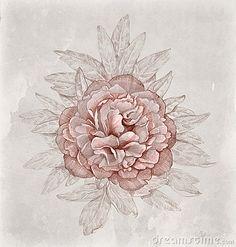 Vintage illustration of peony flower by Alexandra Smirnova, via Dreamstime