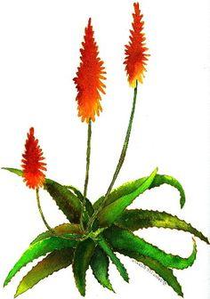 Aloe watercolor by Debra Lee Baldwin