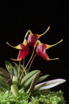 Miniature-orchid: Trisetella dressleri