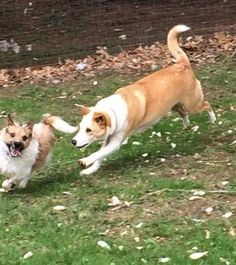 Meet BELLE, a Petfinder adoptable Shiba Inu Dog | McDonald, OH | An application is REQUIRED to be completed AT: WWW.CTHAR.ORGAdoption fee is: $175.00Adoption fee...