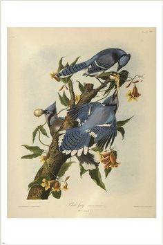 audubon - BLUE JAY bird poster COLORFUL WILDLIFE collectors FINE ART 24X36