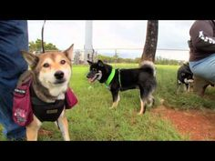 All About The Shiba Inu  Mahalo Toku for sharing