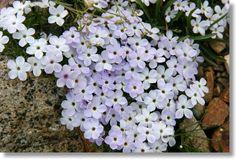 Flowers in Season: Phlox (meaning: sweet dreams)