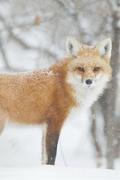 Fox in snow Amor Animal, Animal 2, Wild Creatures, Creatures Of The Night, Most Beautiful Animals, Beautiful Creatures, Fox In Snow, Fox Decor, My Spirit Animal