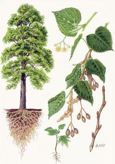 Garden Trees, Trees To Plant, Plant Leaves, Botanical Illustration, Botanical Prints, Tree Leaf Identification, Teaching Plants, Science Illustration, Nature Activities