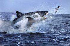 Gran tiburón blanco 'vuela' para devorar a una foca - The moment a killer strikes: Great white shark targets a tiny seal as it breaches waters