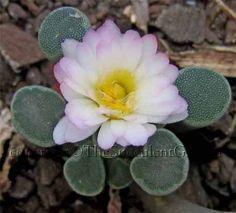 Frithia pulchra v minor