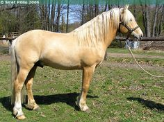 Estonian Native stallion Ahtos