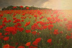 """""""Poppies"""" by Albena Markova, via 500px. loves these flowers"""