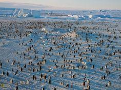 http://ngm.nationalgeographic.com/2012/11/emperor-penguins/img/05-ross-sea-penguin-colony_1600.jpg