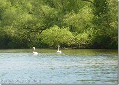 Cisnes en el río Fulda